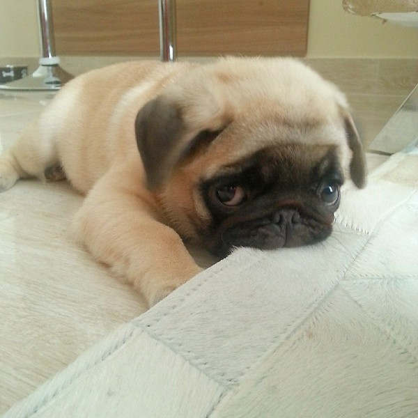 Terrible mordisco de un pug