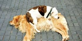 Mi perro usa a otros perros como cama