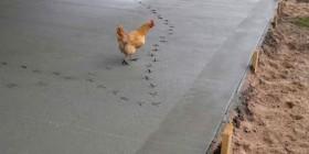 Una gallina traviesa